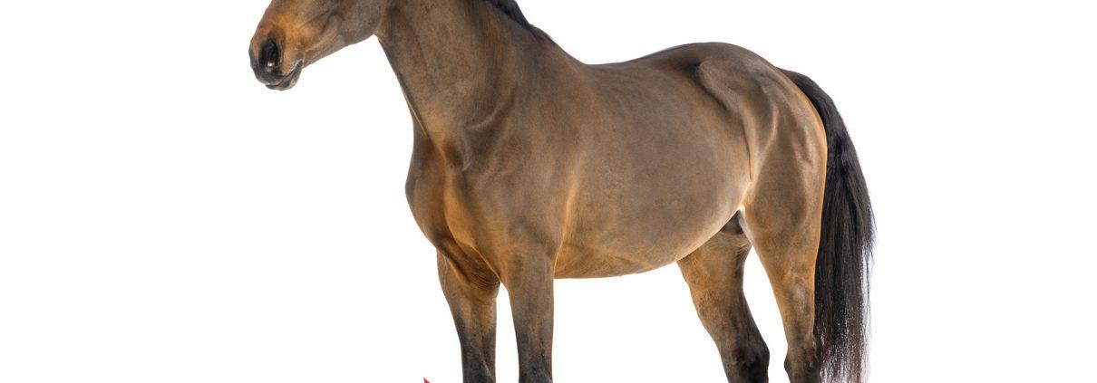 pferd-karpalgelenk